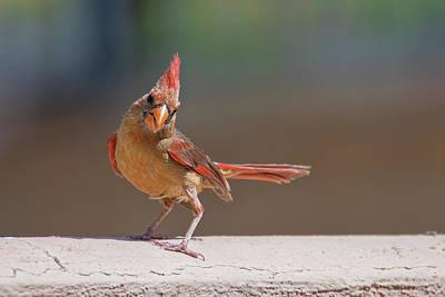 Photograph - Female Cardinal by Dan McManus