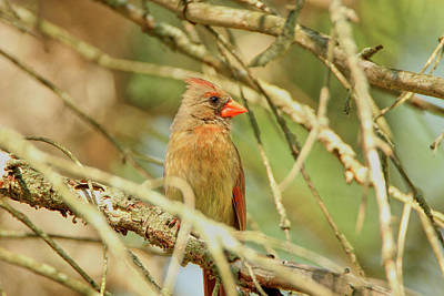 Photograph - Female Cardinal by David Stasiak