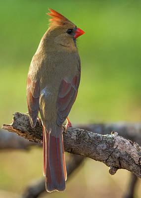 Photograph - Female Cardinal by David Waldrop