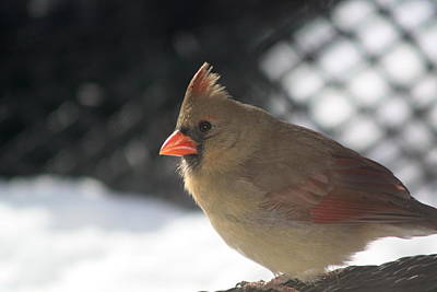 Photograph - Female Cardinal by Diane Merkle