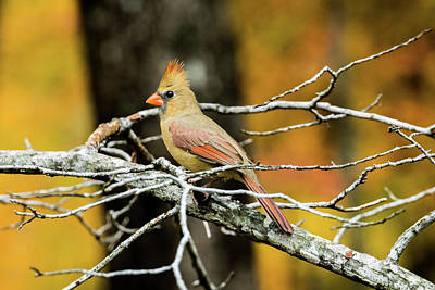 Photograph - Female Cardinal Eying A Bit Of Food by Douglas Barnett