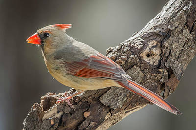 Photograph - Female Cardinal Img 1 by Bruce Pritchett