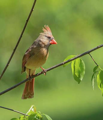 Photograph - Female Cardinal Img 2 by Bruce Pritchett