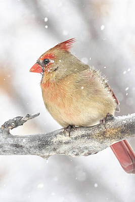 Photograph - Female Cardinal In A Snow Storm by Jim Hughes