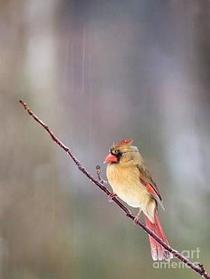 Photograph - Female Cardinal In Rain by David Waldrop