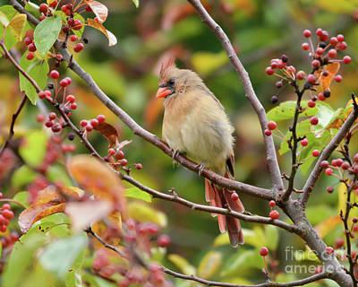 Photograph - Female Cardinal In The Berries by Kerri Farley
