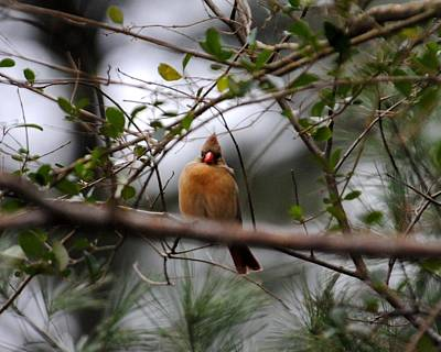 Photograph - Female Cardinal by Jai Johnson