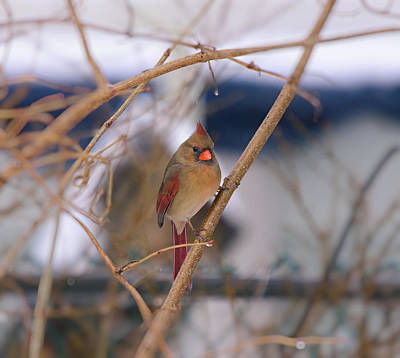 Photograph - Female Cardinal by Melinda Dreyer