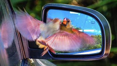 Photograph - Female Cardinal Mirror Boca Raton Florida by Lawrence S Richardson Jr