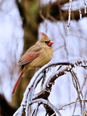 Female Cardinal On Ice Covered Branch Original