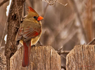 Print featuring the photograph Female Cardinal On The Fence by Edward Peterson