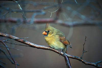 Photograph - Female Cardinal On Winter Perch by Jeff Phillippi