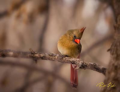 Photograph - Female Cardinal by Rikk Flohr