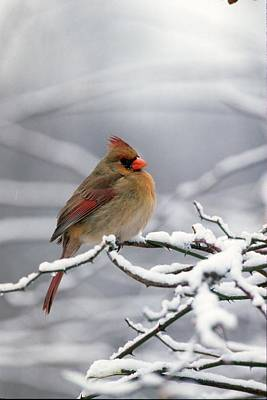 Female Cardnal In That Snow Art Print by Terry Dickinson
