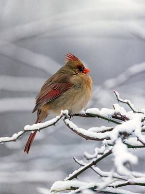 Female Cardnal In The Snow #2 Art Print by Terry Dickinson