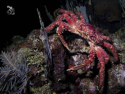 Photograph - Female Channel Clinging Crab by Mauricio Riquelme