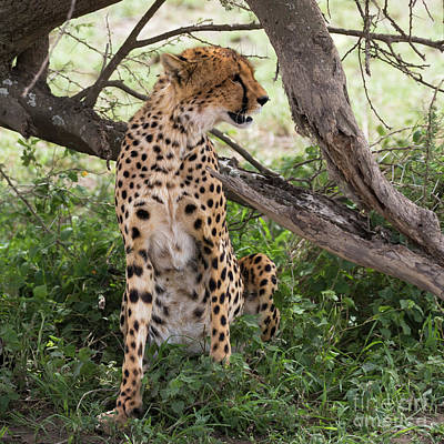 Photograph - Female Cheetah Under A Tree In Serengeti Region by RicardMN Photography