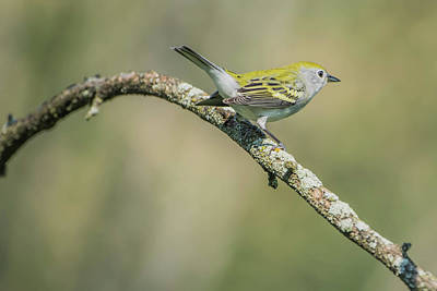 Photograph - Female Chestnut-side Warbler Img 2 by Bruce Pritchett