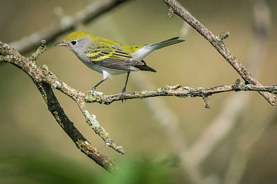 Photograph - Female Chestnut-sided Warbler by Bruce Pritchett