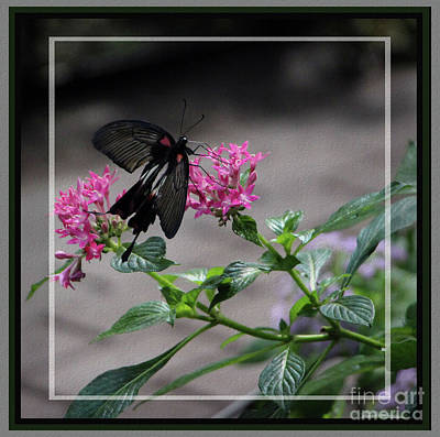 Photograph - Female Common Mormon Butterfly, Framed by Sandra Huston