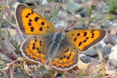Photograph - Female Copper by Frank Townsley