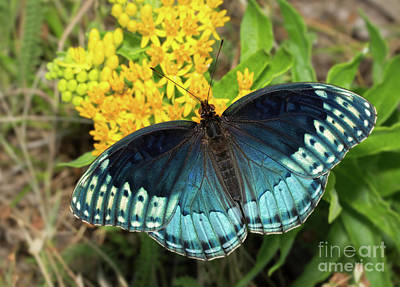 Photograph - Female Diana Fritillary by Sari ONeal