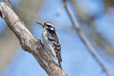 Picoides Photograph - Female Downey Woodpecker 1104  by Michael Peychich