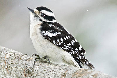 Photograph - Female Downey Woodpecker 7170 by Michael Peychich