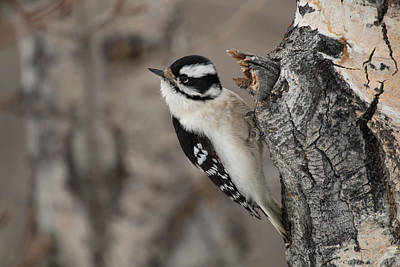 Photograph - Female Downey Woodpecker by Celine Pollard