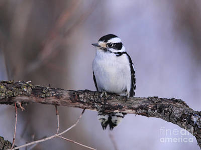 Photograph - Female Downy Woodpecker Frontview by Cathy  Beharriell