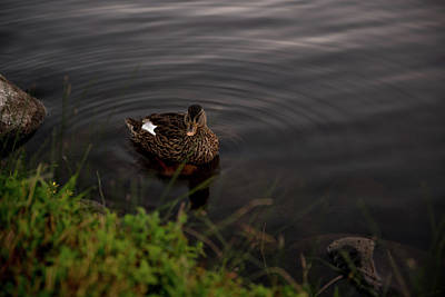Photograph - Female Duck Hen Creating Ripples In A Pond At Rancho San Rafael Park In Reno Nevada by Brian Ball