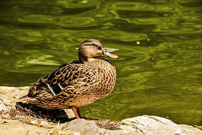 Nirvana - Female Duck by Jennifer Wick