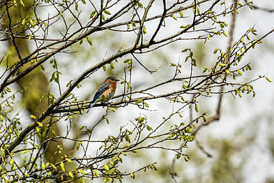 Eastern Accents Photograph - Female Eastern Bluebird  by Darrell P Delahousaye