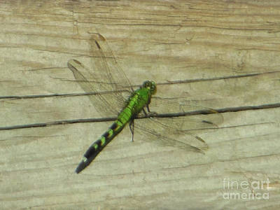 Female Eastern Pondhawk Dragonfly Art Print