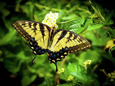 Female Eastern Tiger Swallowtail  Art Print