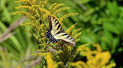 Photograph - Female Eastern Tiger Swallowtail On Goldenrod Wildflower by Carol Bradley