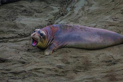 Bite Photograph - Female Elephant Seal by Garry Gay