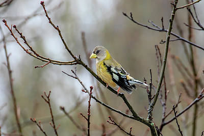 Photograph - Female Evening Grosbeak by Gary Hall