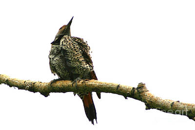 Photograph - Female Flicker by Alyce Taylor
