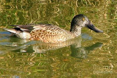 Photograph - Female Gadwall by Frank Townsley