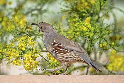 Photograph - Female Gambel's Quail by Dan McManus