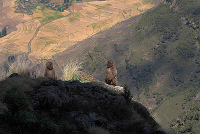 Photograph - Female Gelada Baboons by Aidan Moran
