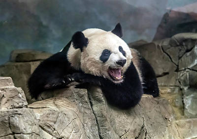 Photograph - Female Giant Panda by William Bitman