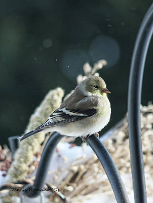 Photograph - Female Goldfinch by Denise Romano