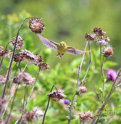 Photograph - Female Goldfinch Flies Between The Wildflowers by Kerri Farley