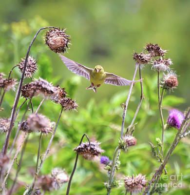 Photograph - Female Goldfinch Flies Between The Wildflowers by Kerri Farley