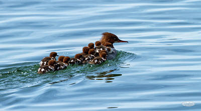 Photograph - Female Goosander, Mergus Merganser, And Babies by Elenarts - Elena Duvernay photo
