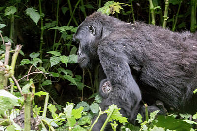 Lipstick Kiss - Female gorilla carrying baby, Bwindi Impenetrable Forest Nationa by Karen Foley