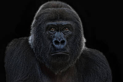 Female Gorilla Art Print by Joachim G Pinkawa