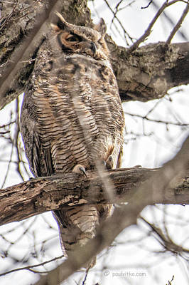 Photograph - Female Great Horned Owl.... by Paul Vitko